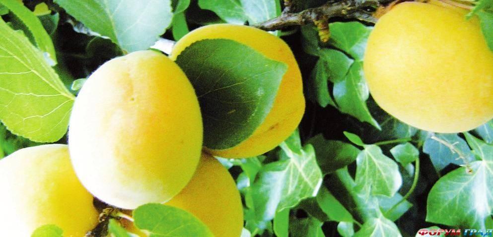 Ананасный – ароматный сорт сочных абрикосов, описание, особенности посадки и ухода за деревом