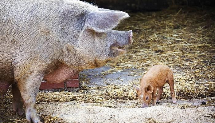 Как опалить свинью газовой горелкой