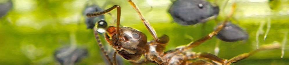 11 способов, как защитить или спасти сливу от тли и муравьев