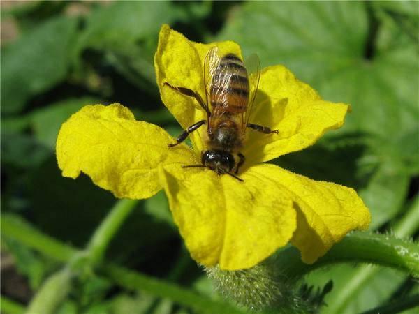 Как привлечь пчел в теплицу для опыления