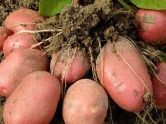 Картофель ажур: описание и характеристика, агротехника посадки и ухода