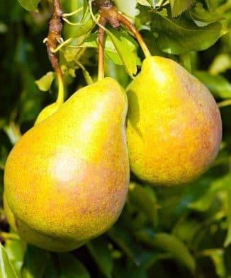 Сладкий урожай: особенности выращивания груши медовая