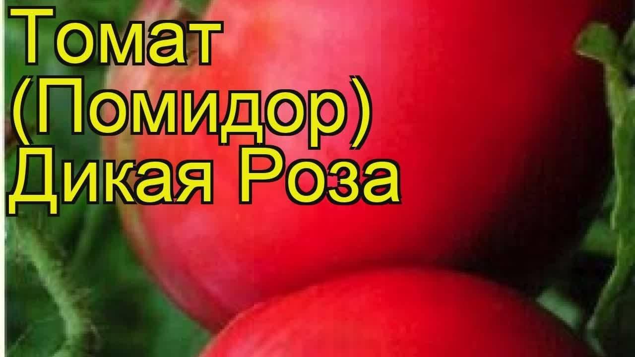 Описание и характеристика сорта томатов «дикая роза» с фото