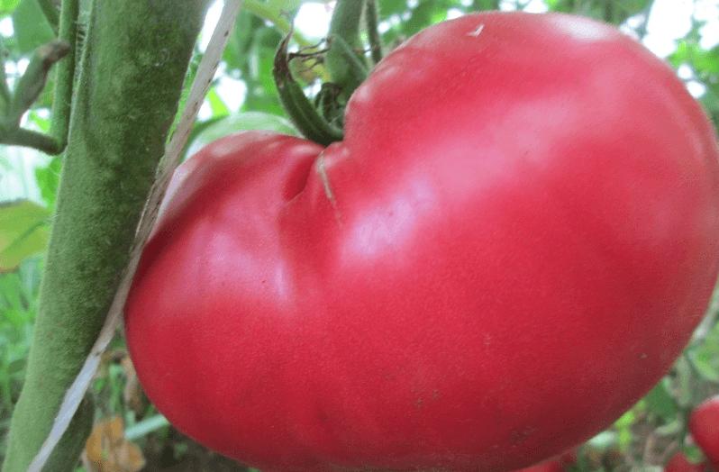 Выращивание томата розовый мед