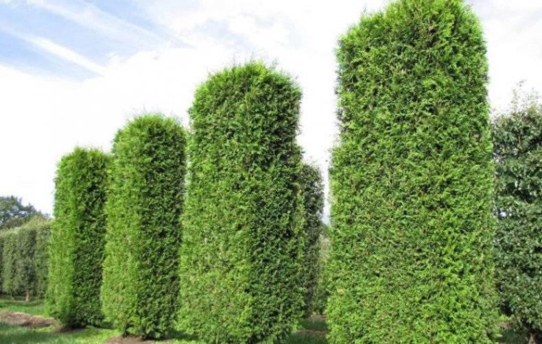 Восточные туи или плосковеточники биота: пирамидалис, ауреа нана и другие