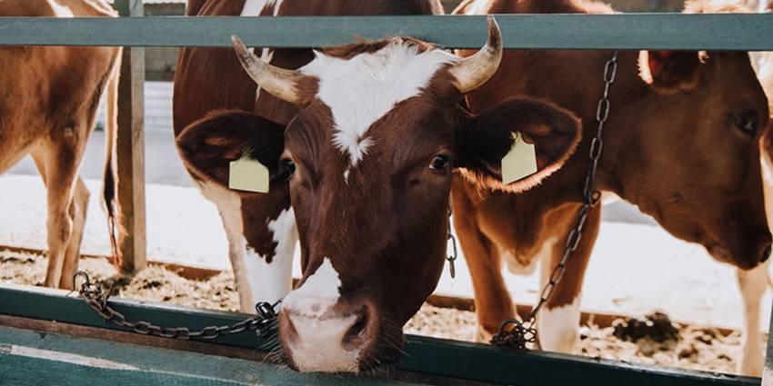 Особенности лечения мастита у коров