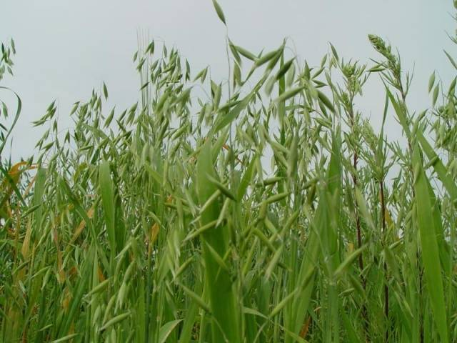 Какую траву посеять, чтобы не росли сорняки