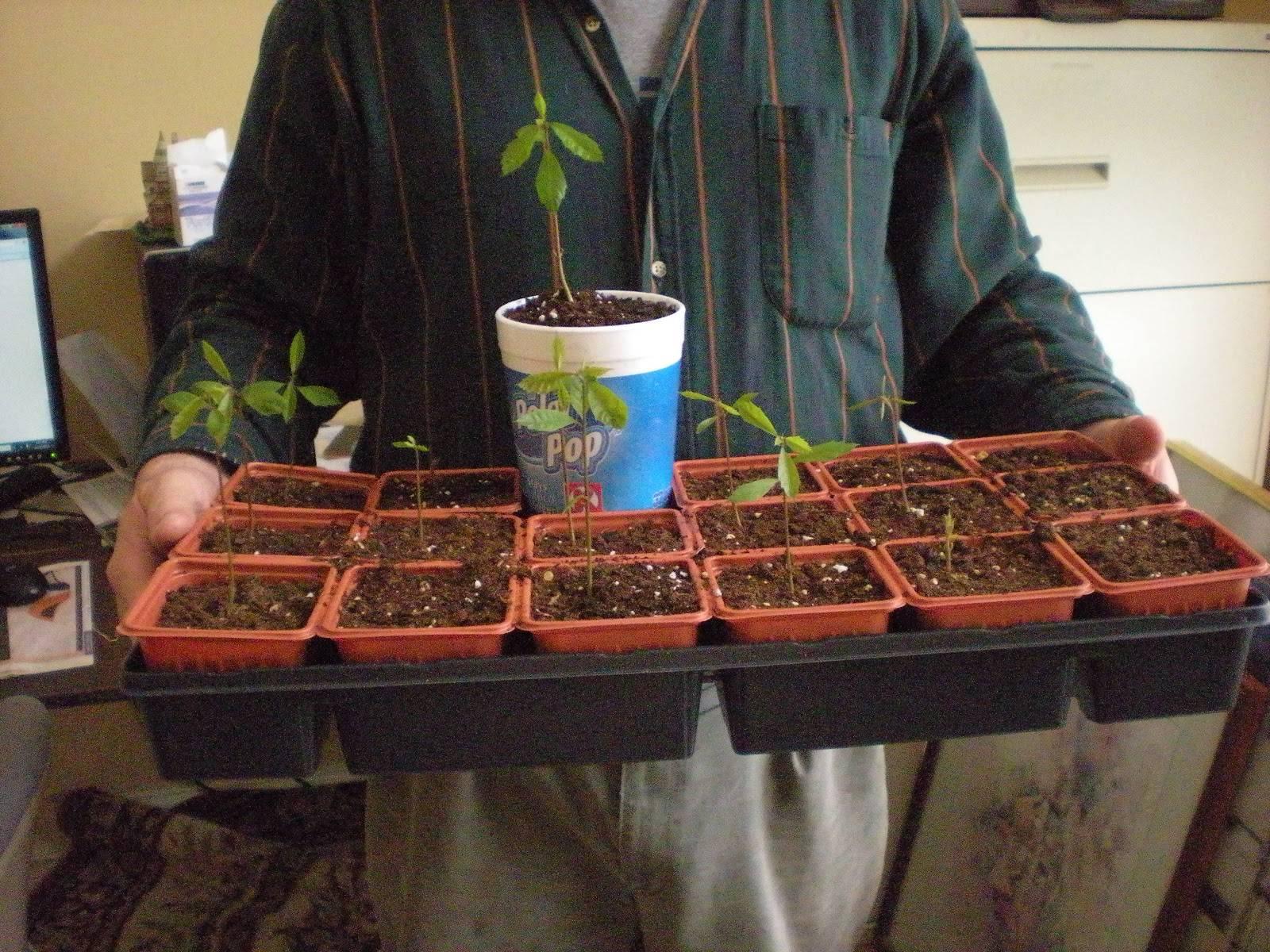 Как посадить и вырастить каштан на своем участке. советы и рекомендации.
