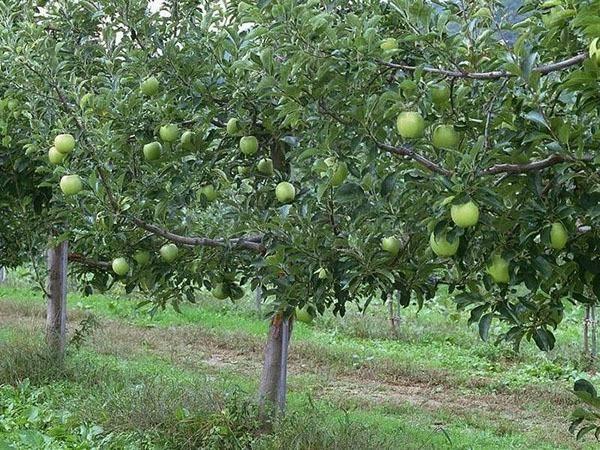 Яблоки семеренко: описание, польза