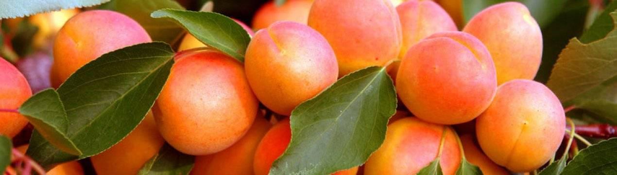 Посадка абрикоса весной: как правильно посадить саженец