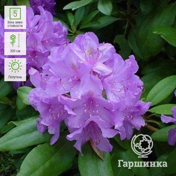Самое подробное описание и размеры гибридного розового рододендрона