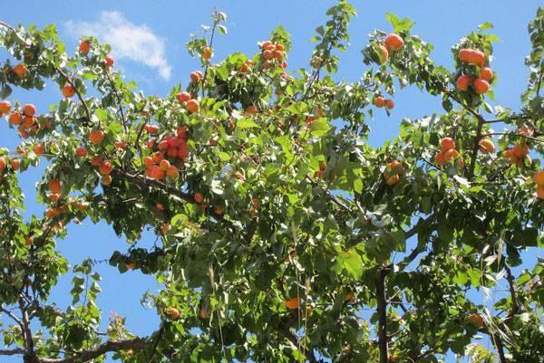Абрикос кичигинский: характеристика, выращивание