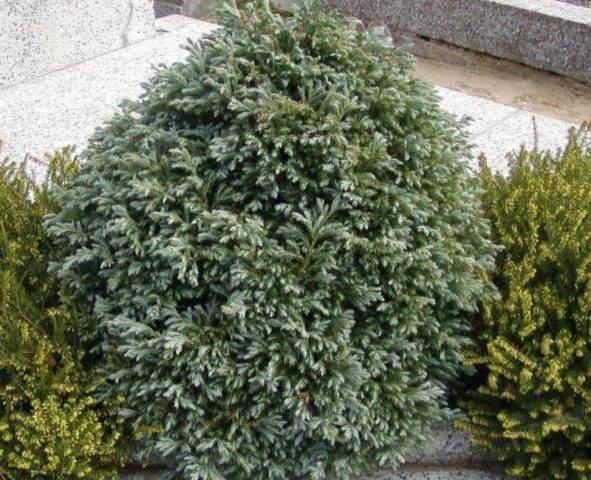 Кипарисовик лавсона вайт спот (chamaecyparis lawsoniana white spot)