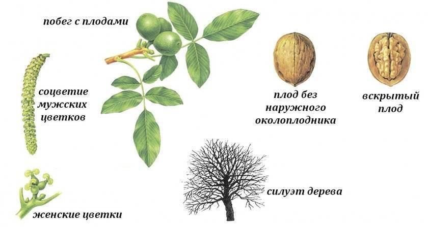 Когда начинает плодоносить грецкий орех