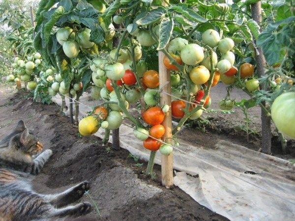 Самые благоприятные дни для посадки рассады помидоров в сибири по фазам луны на 2020 год