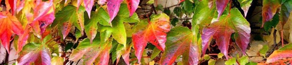 Виноград амурский белый