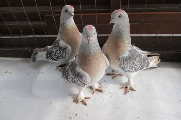 Бойные голуби: виды боя у пакистанцев, двухчубых и других видов