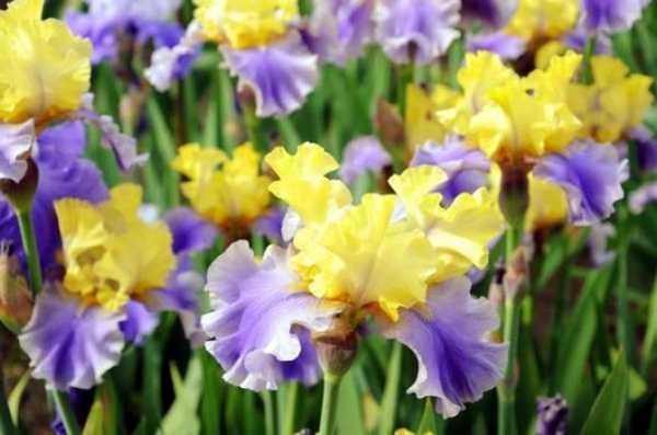 Сибирские ирисы: сорта синих, белых, голубых, желтых, махровых и фиолетовых цветов
