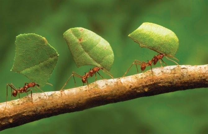 Как избавиться от муравьев на черешне