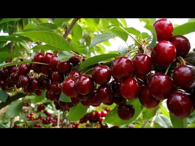 Как избавиться от червяков в черешне собранных ягодах на webspoon.ru