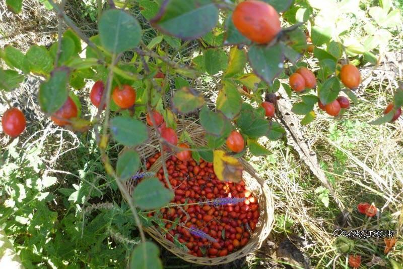 Когда собирать и как правильно сушить листья смородины на зиму для чая