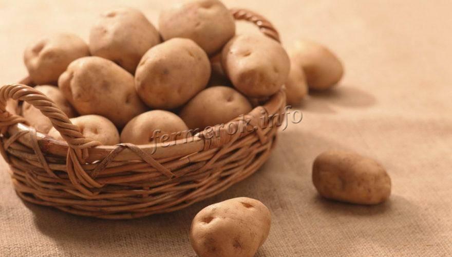 Картофель лапоть описание сорта фото