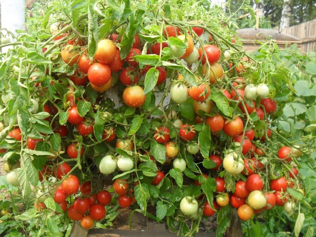 Раннеспелые сорта томатов для открытого грунта