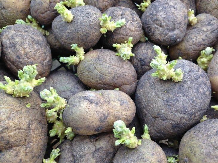 Как правильно проращивать картофель – обработка картофеля перед посадкой