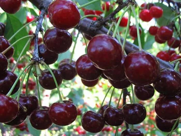 Отличительные характеристики черешни и вишни