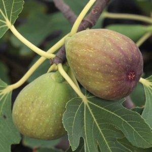 Сорта инжира, ставшие фаворитами приусадебных участков