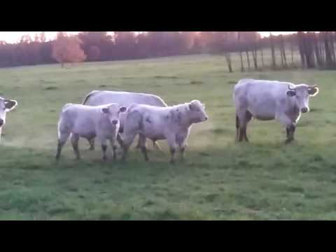 Статьи по разведению крс на korovainfo.ru | шароле порода коров