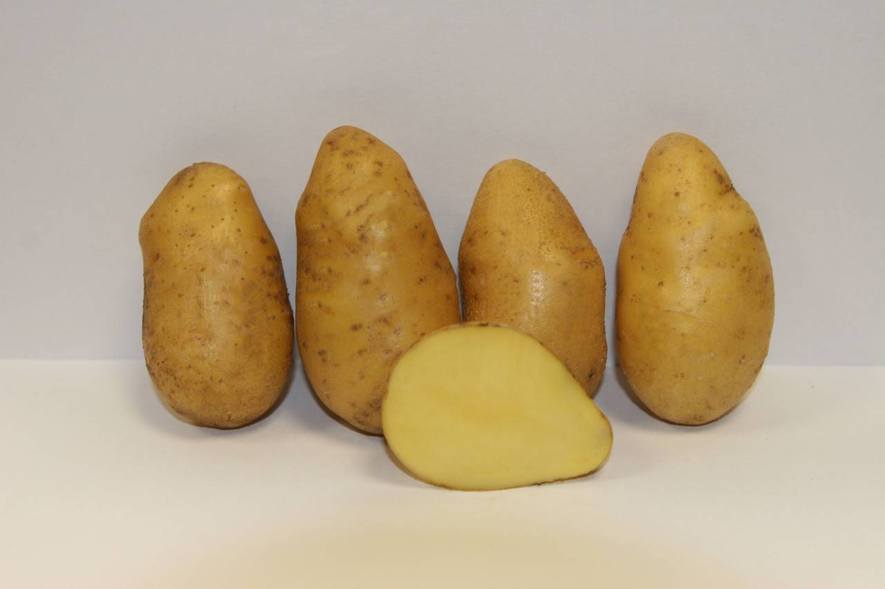 Картофель латона описание сорта фото