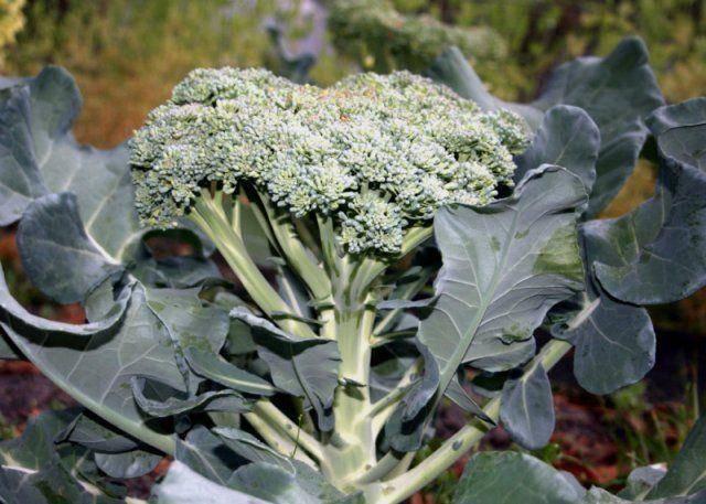 Капуста брокколи: выращивание из семян рассадой, посадка и уход в открытом грунте