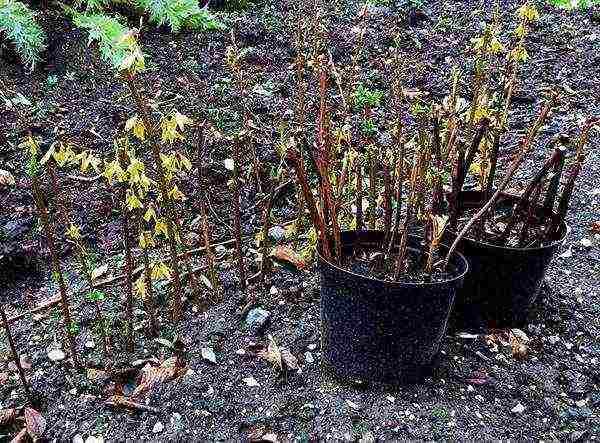 Кустарник форзиция: посадка и уход в открытом грунте, размножение черенками весной и осенью