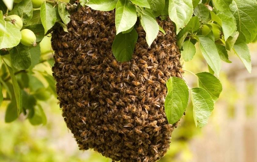 Роение пчел: основные причины и как его избежать