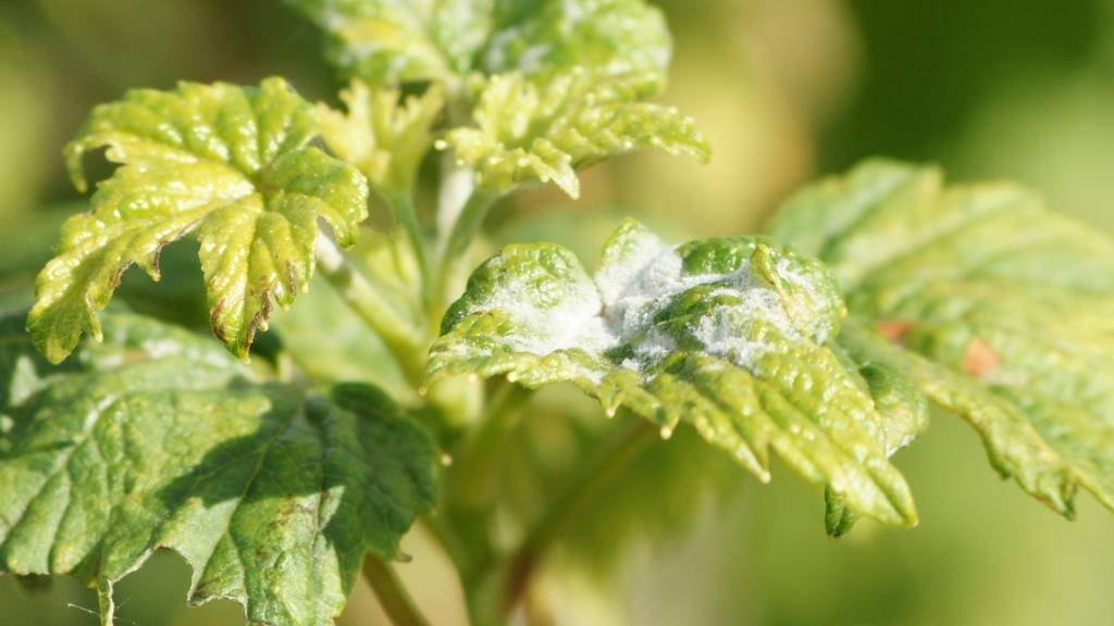 Черная смородина: борьба с болезнями. обработка сада весной