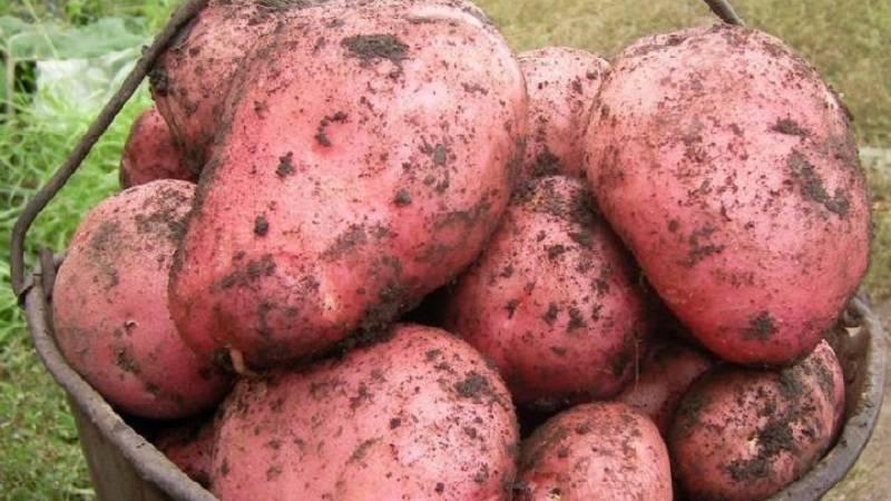 Сорт картофеля ред фэнтези: ботаническое описание, агротехника выращивания и ухода