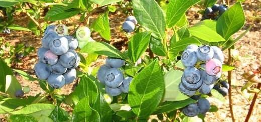 Черника садовая посадка и уход размножение рецепты приготовления
