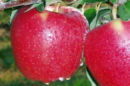 Описание ухода за летней зимостойкой яблоней старкримсон