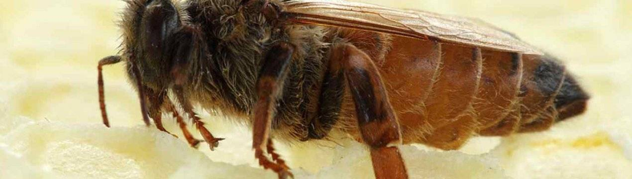 Тихая смена маток на пасеке | практическое пчеловодство