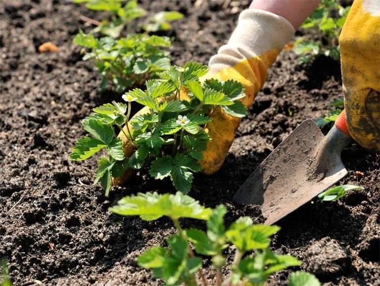 Какую почву любит клубника: состав, кислотность, особенности подготовки и советы по подбору компонентов для удобрения (115 фото + видео)