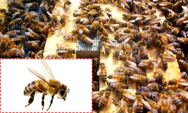 Пчелы карника: их характеристики и описание