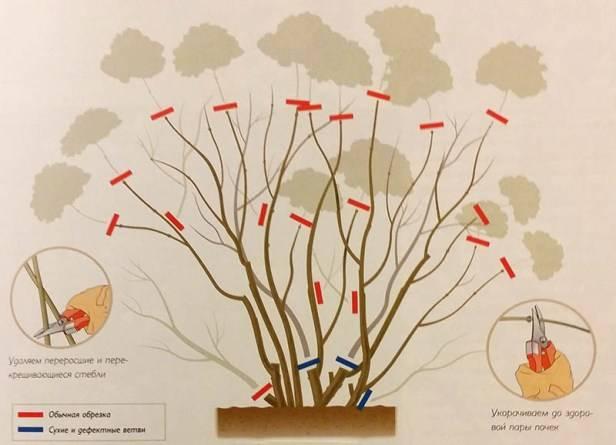 Обрезка гортензии метельчатой, древовидной и крупнолистной весной и осенью