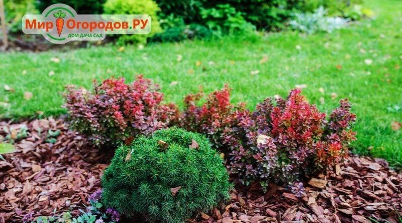 Плодовый кустарник барбарис: посадка и уход