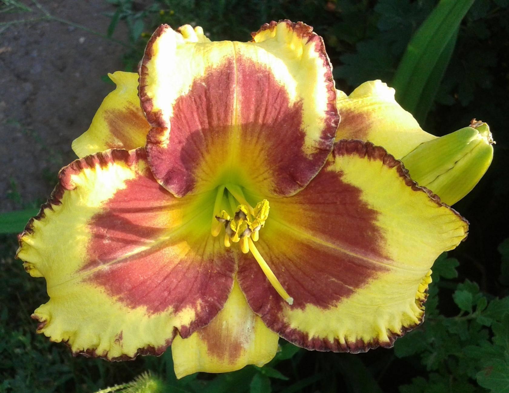 Лилейник — видовое и сортовое многообразие цветущих растений