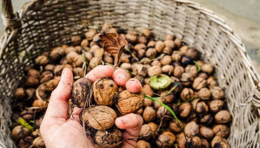 Как сушить грецкие орехи – сохраняем вкус и пользу
