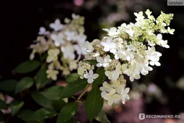 Гортензия «ванилла фрейз»: описание, посадка, уход и размножение