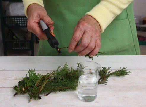 Секреты зимнего черенкования хвойных растений