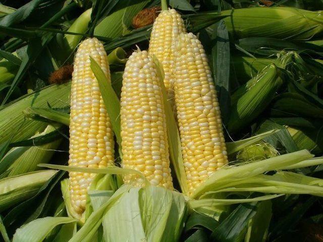 Необычная цветная кукуруза – можно ли ее есть и что это за сорт?