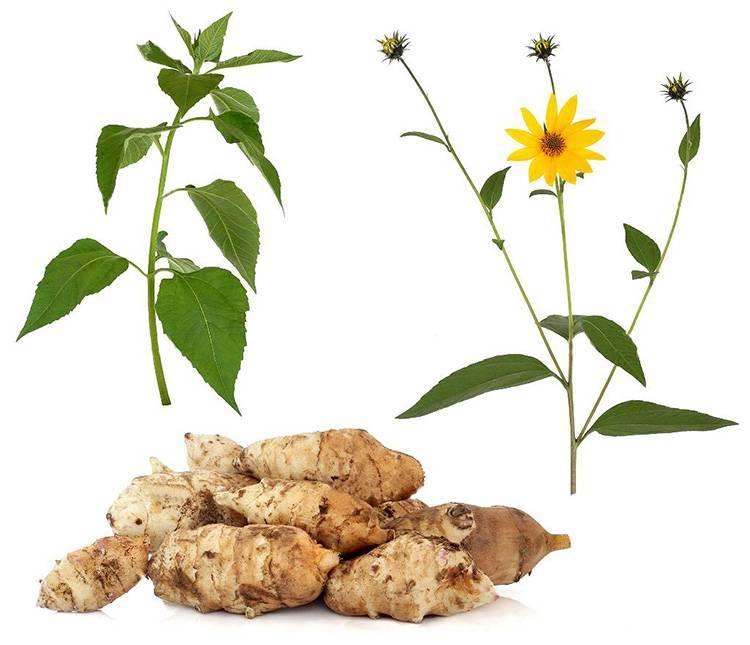 Топинамбур (сироп, порошок, корень): польза и вред земляной груши